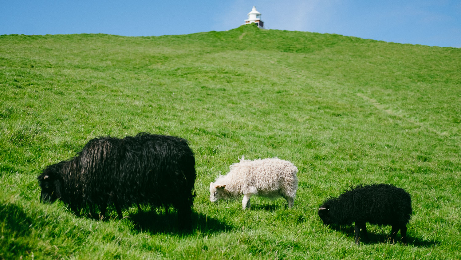 Sheep grazing in Kalsoy