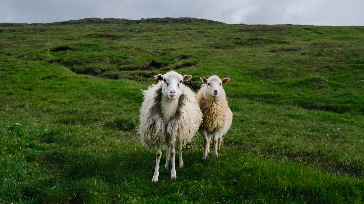 Two sheep from the Faroe Islands