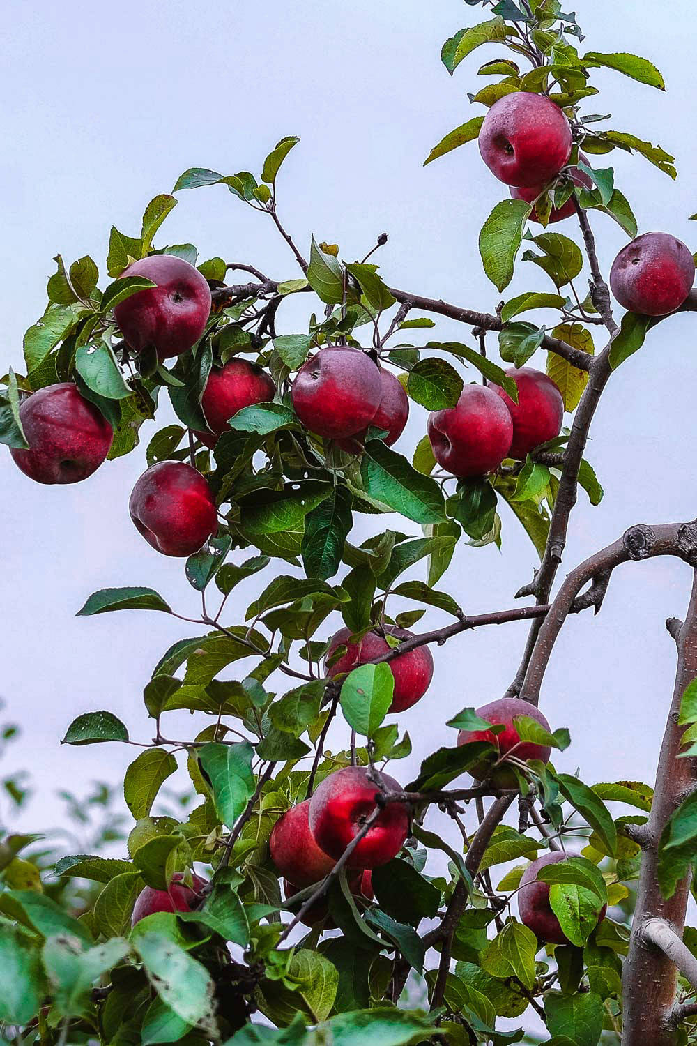 Apples on a tree at Chudleigh's Apple Farm