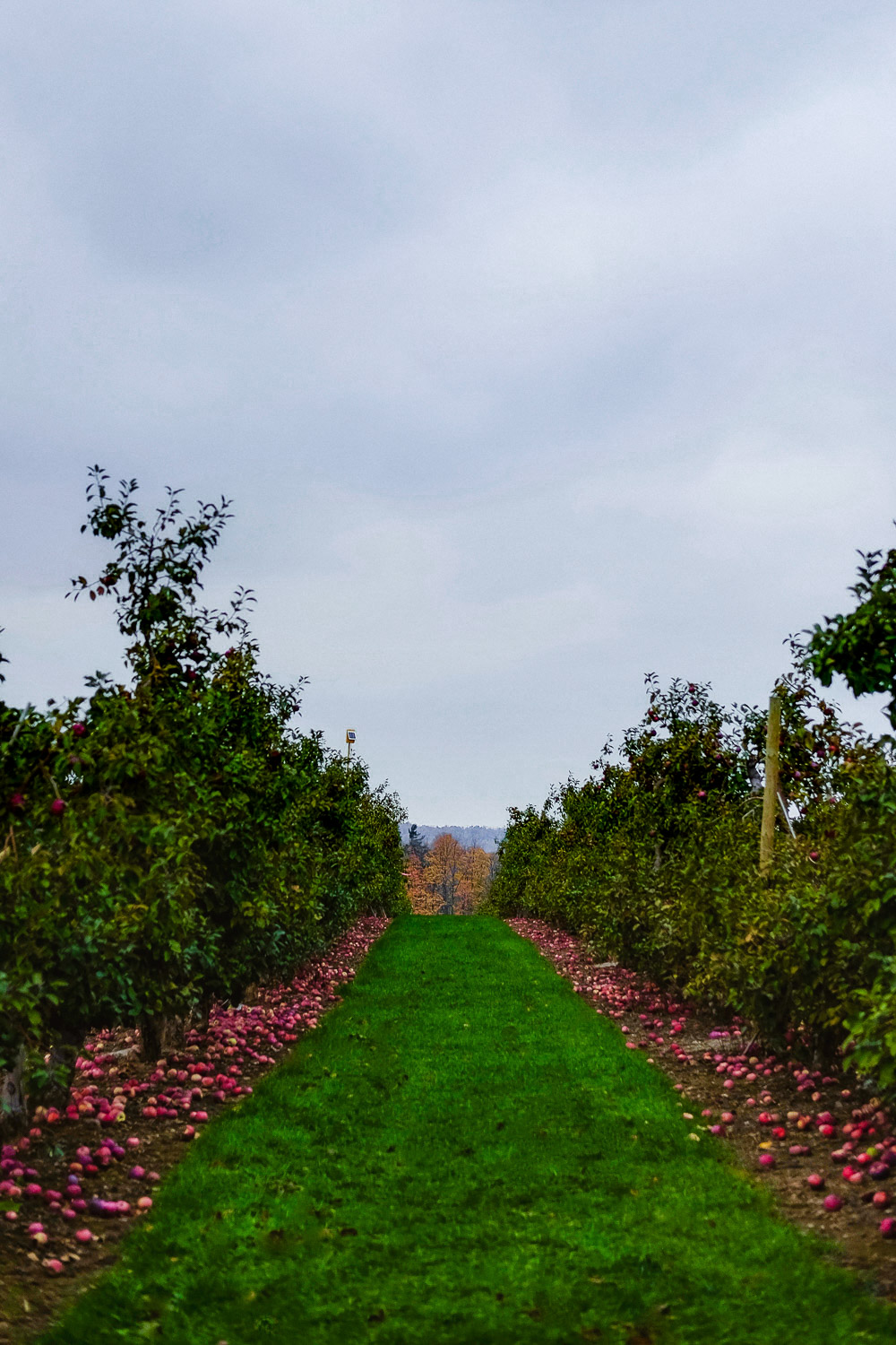 The apple orchards at Chudleigh's Apple Farm