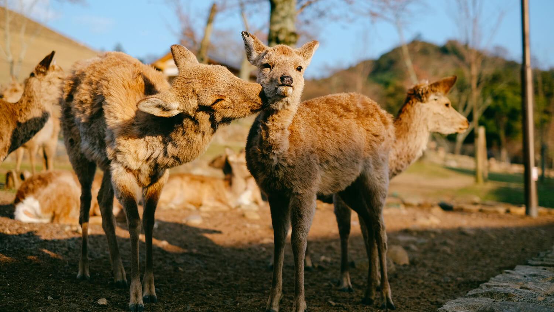 Deer Love in Nara Park