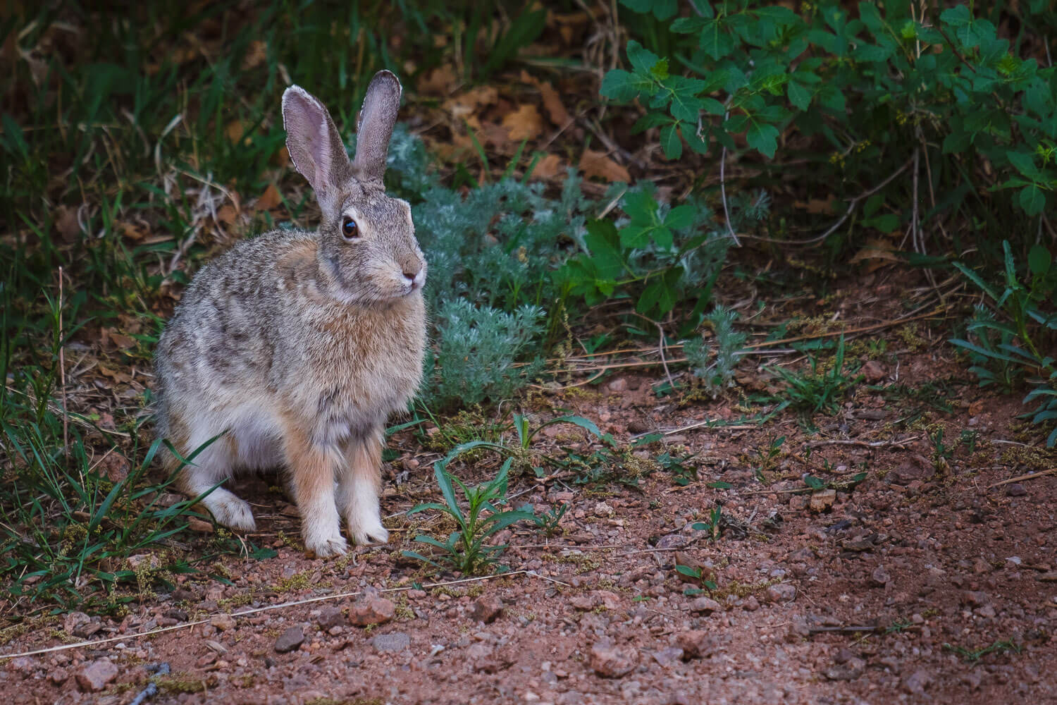 """A wild rabbit, Garden of the Gods. Travel photography and guide by © Natasha Lequepeys for """"And Then I Met Yoko"""". #colorado #usa #coloradosprings #travelguide #coloradoitinerary #fujifilm"""