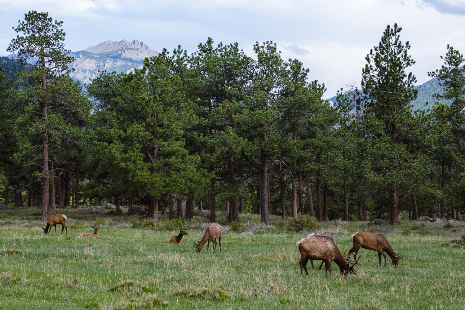 """Deer grazing, RMNP. Travel photography and guide by © Natasha Lequepeys for """"And Then I Met Yoko"""". #colorado #usa  #rockymountainnationalpark #landscapephotography #coloradoitinerary #fujifilm"""