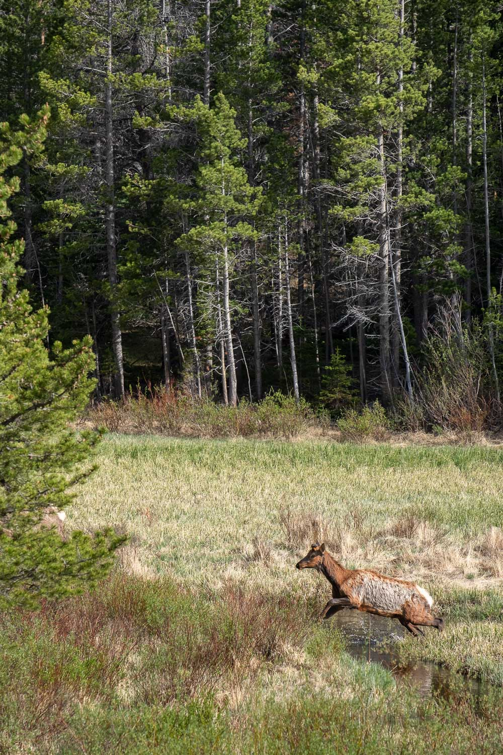 A deer jumping over a stream in RMNP