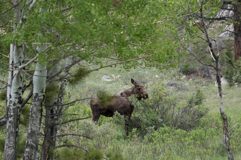 A grazing moose in RMNP