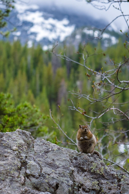 Curious chipmunk at Bear Lake in RMNP
