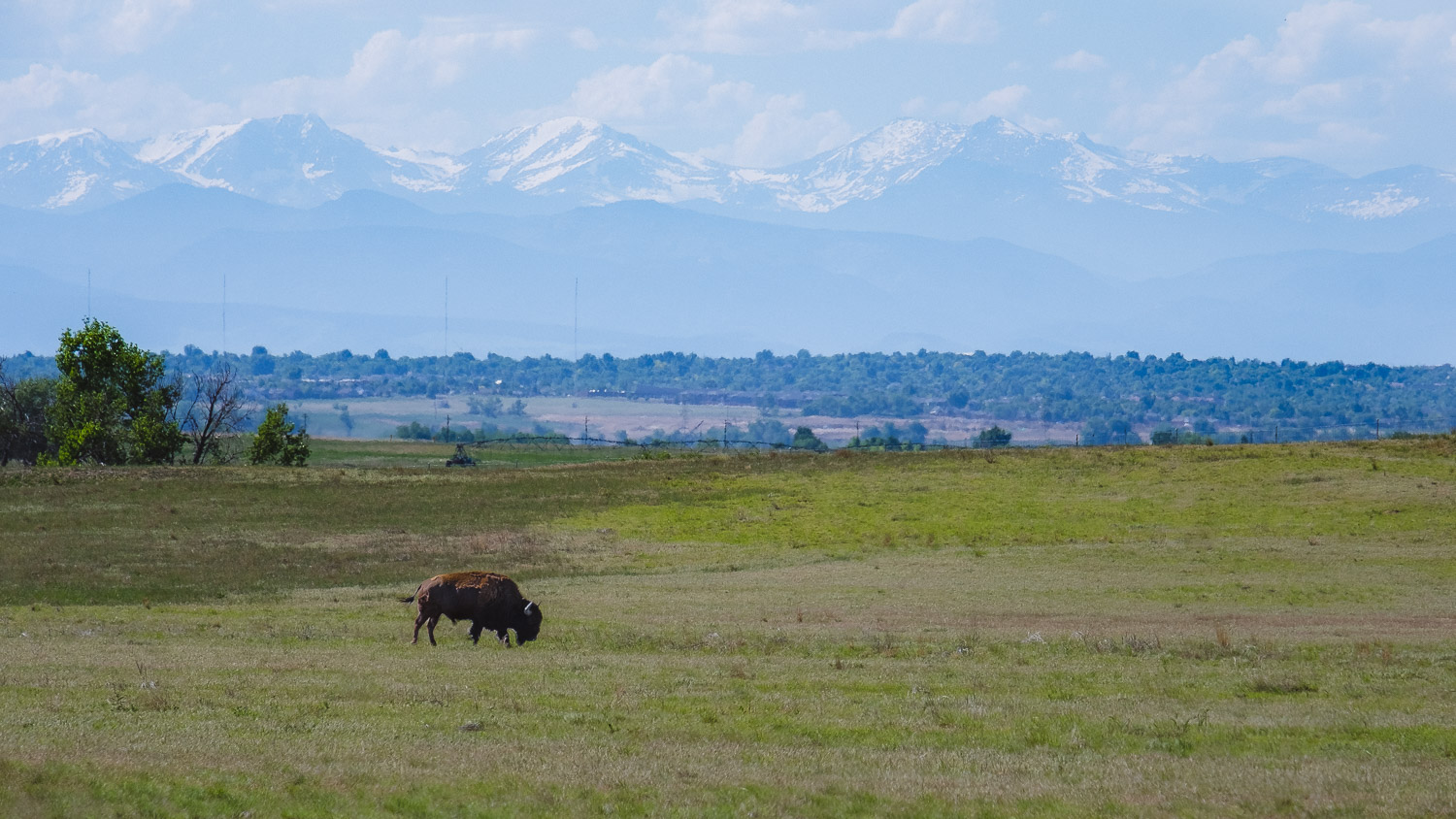 Bison in the Rocky Mountain Arsenal