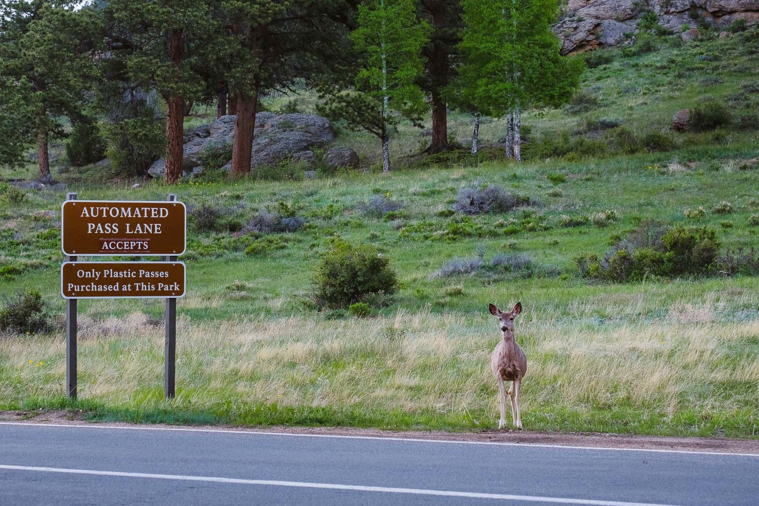 """Deer by the road, Rocky Mountain National Park. Travel photography and guide by © Natasha Lequepeys for """"And Then I Met Yoko"""". #colorado #usa #denver #rockymountainnationalpark #rmnp #deer #travelguide #photoblog #travelblog #travelphotography #landscapephotography #coloradoitinerary #fujifilm #hiking #nature #trails #getoutdoors #animals #nationalpark #wildlifephotography"""