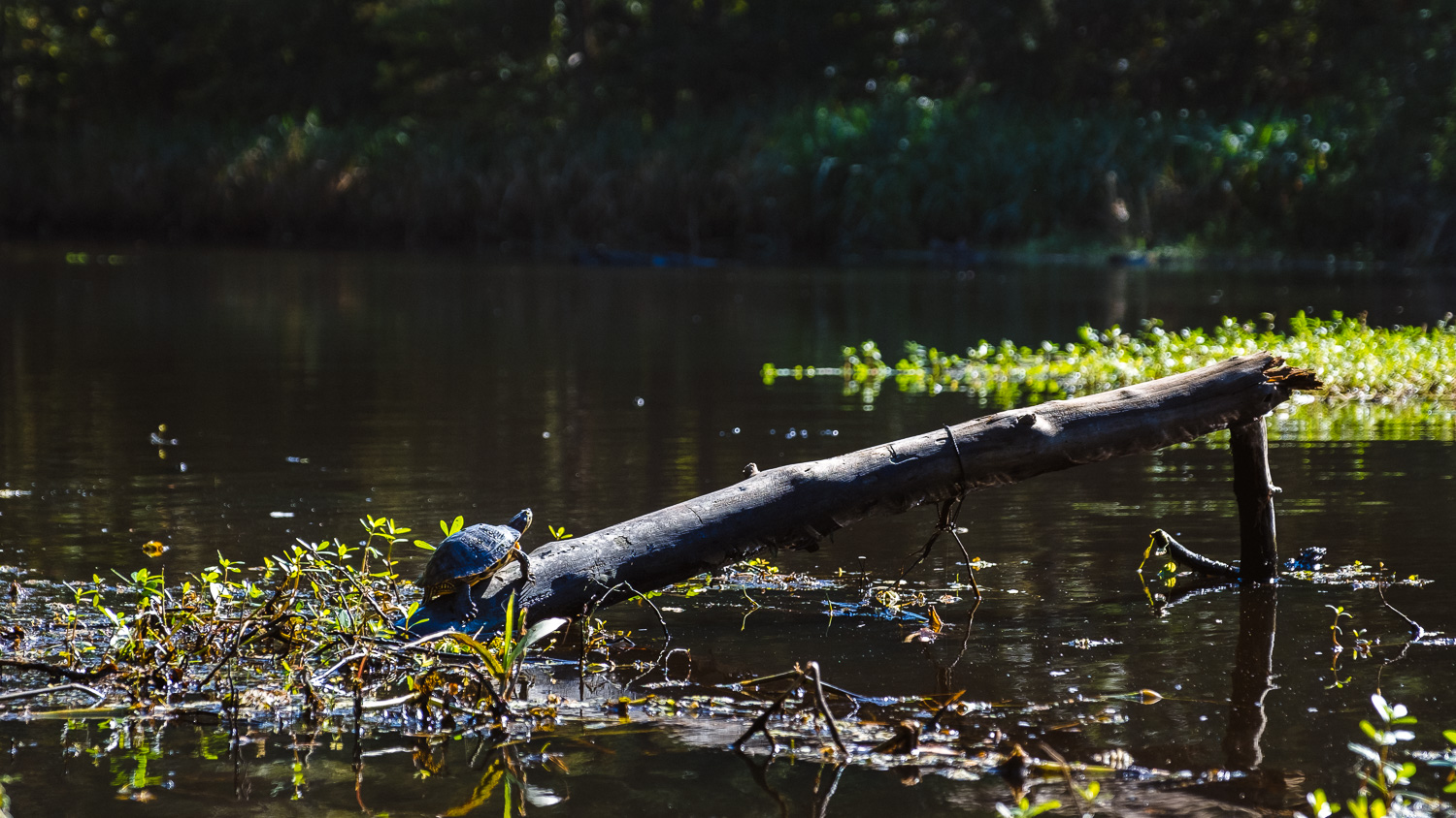 """A turtle in the Bayou - Travel photography and guide by © Natasha Lequepeys for """"And Then I Met Yoko"""". #neworleans #nola #photoblog #travelitinerary #fujifilm #kayaking #naturephotography"""