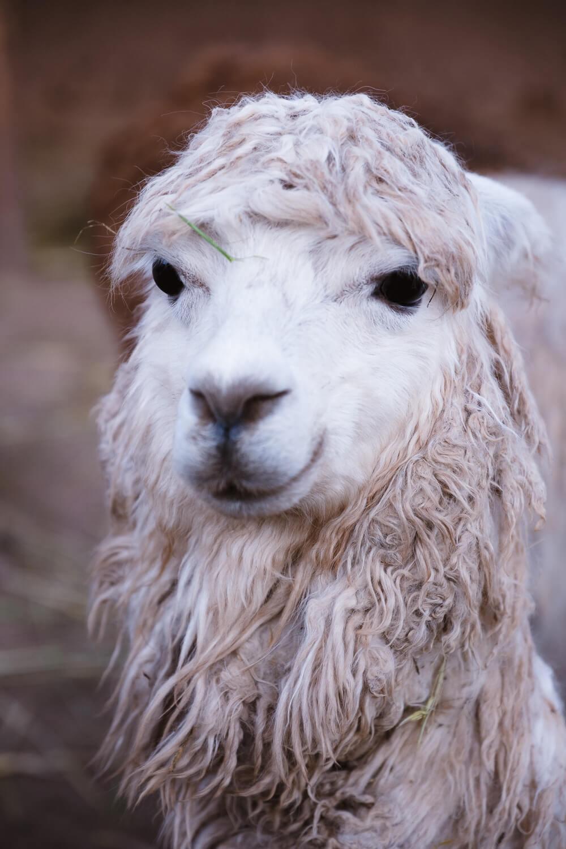 "A smiling llama, Peru. Travel photography and guide by © Natasha Lequepeys for ""And Then I Met Yoko"". #photoblog #fujifilm #ValleSagrado"