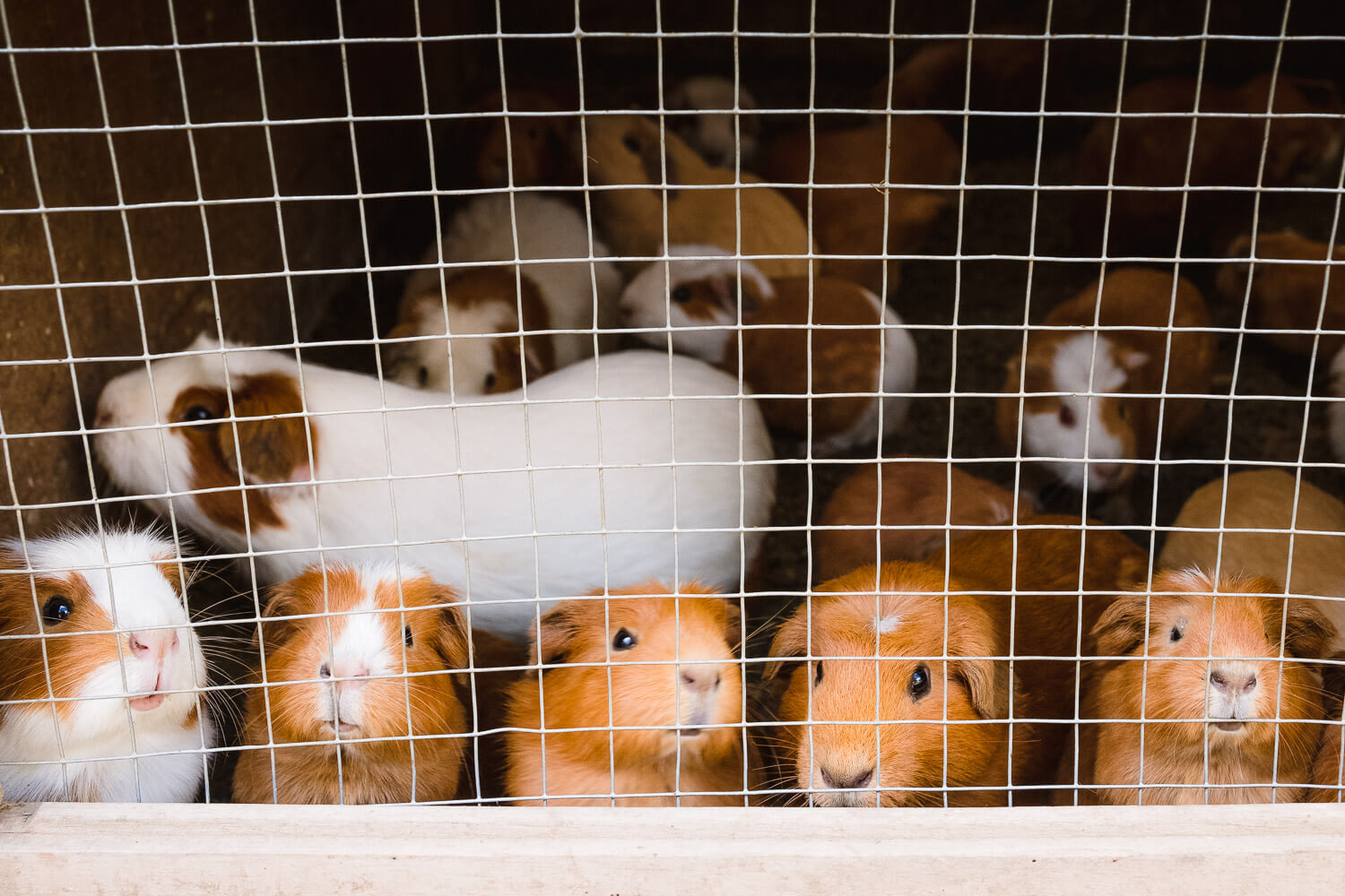 """Guinea pigs """"cuy"""" in The Sacred Valley, Peru. Travel photography and guide by © Natasha Lequepeys for """"And Then I Met Yoko"""". #travelguide #photoblog #fujifilm #machupicchu #sacredvalleyitinerary"""