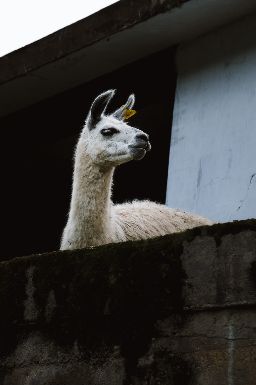 "A curious llama. Travel photography and guide by © Natasha Lequepeys for ""And Then I Met Yoko"". #machupicchu #shortincatrail #2dayincatrail #incatrail #aguascalientes #sacredvalley #peru #travelguide #photoblog #travelblog #travelphotography #landscapephotography #travelitinerary #machupicchuitinerary #fujifilm #southamerica #visitperu #dayhike #ancientruins #hiking"