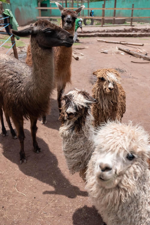 "Llamas and alpacas at the Ccochahuasi Animal Sanctuary, Cusco. Travel photography and guide by © Natasha Lequepeys for ""And Then I Met Yoko"". #cusco #peru #photoblog #travelblog #cuscoitinerary"