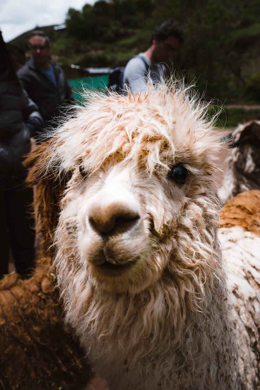 "Alpaca at the Ccochahuasi Animal Sanctuary, Cusco. Travel photography and guide by © Natasha Lequepeys for ""And Then I Met Yoko"". #cusco #peru #photoblog #travelblog #peruitinerary #cuscoitinerary"