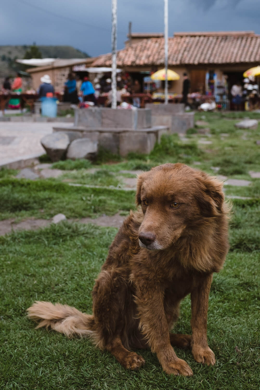 "A dog at the market in Raqch'i. Travel photography and guide by © Natasha Lequepeys for ""And Then I Met Yoko"". #peru #sacredvalley #cusco #laketiticaca #belmondandeanexplorer #perurail #perutrain #luxurytravel #sleepertrain #photoblog #travelblog #travelphotography #fujifilm #andes #travel #travelperu #cuscotolaketiticaca #spiritofthelake #belmond #puno #southamerica"