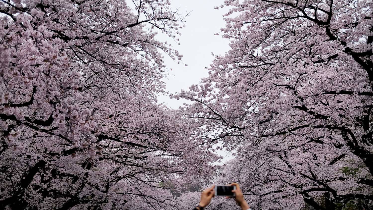 "Man takes picture of cherry blossoms in Ueno Park, Tokyo. Travel photography and guide by © Natasha Lequepeys for ""And Then I Met Yoko"". #japan #japanitinerary #tokyo #osaka #travelblog #travelphotography #landscapephotography #travelitinerary #fujifilm #kyoto #nara #oaska #travelguide #asia #foodphotography #japantravel #japanfood #ryokan #cherryblossom #springtravel"