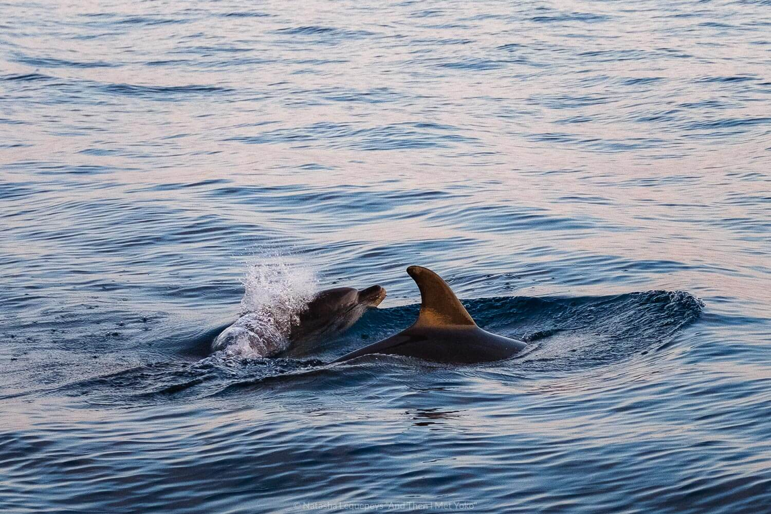"""Two dolphins swimming, Cinque Terre. Travel photography and guide by © Natasha Lequepeys for """"And Then I Met Yoko"""". #cinqueterre #italy #travelphotography"""