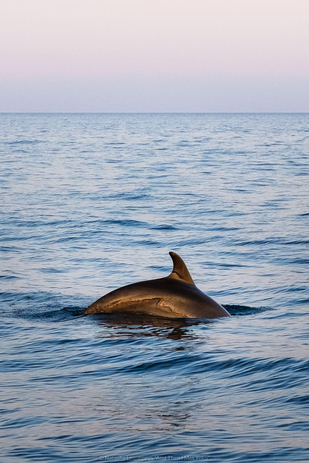 """A dolphin swims in Cinque Terre. Travel photography and guide by © Natasha Lequepeys for """"And Then I Met Yoko"""". #cinqueterre #italy #travelphotography"""