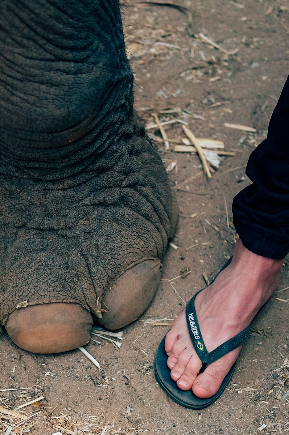 Elephant foot vs. human foot