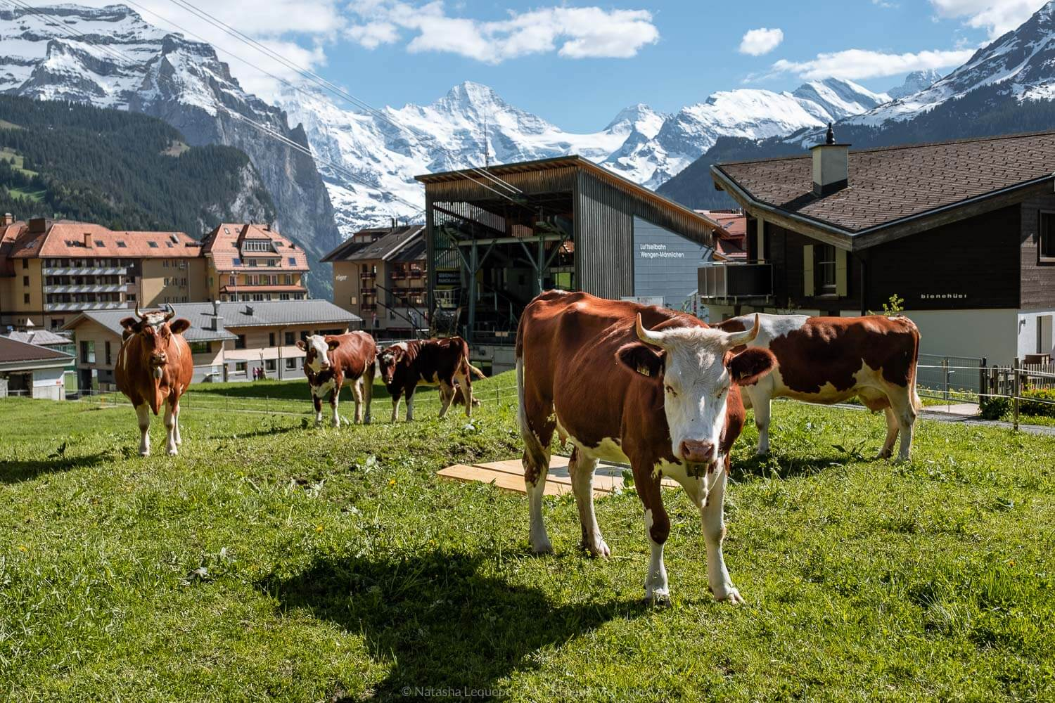 """Cows grazing in a field, Wengen, Switzerland. Travel photography and guide by © Natasha Lequepeys for """"And Then I Met Yoko"""". #wengen #switzerland #jungfrau #travelphotography"""