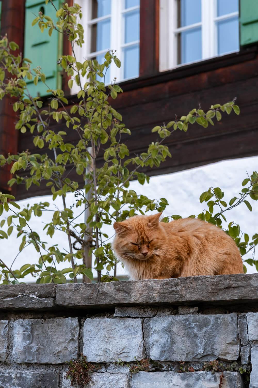 "Beautiful red cat in Wengen, Switzerland. Travel photography and guide by © Natasha Lequepeys for ""And Then I Met Yoko"". #wengen #switzerland #jungfrau #travelphotography #fujifilm"