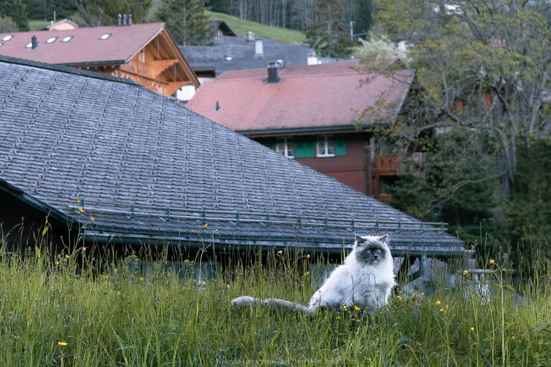 "Beautiful white cat in Wengen, Switzerland. Travel photography and guide by © Natasha Lequepeys for ""And Then I Met Yoko"". #wengen #switzerland #jungfrau #travelphotography #fujifilm"