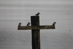 fledging_kingfishers.jpg