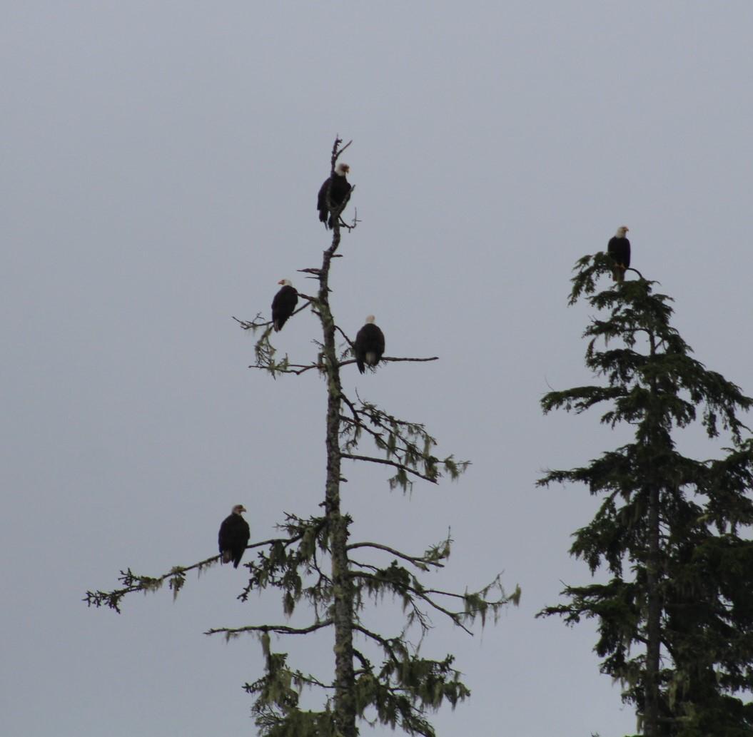 Eagles in Tree.JPG