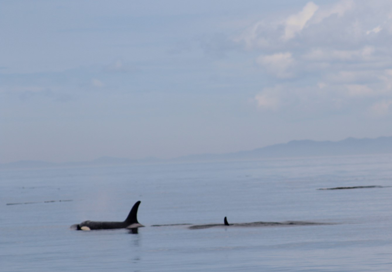Orca and Calf.JPG