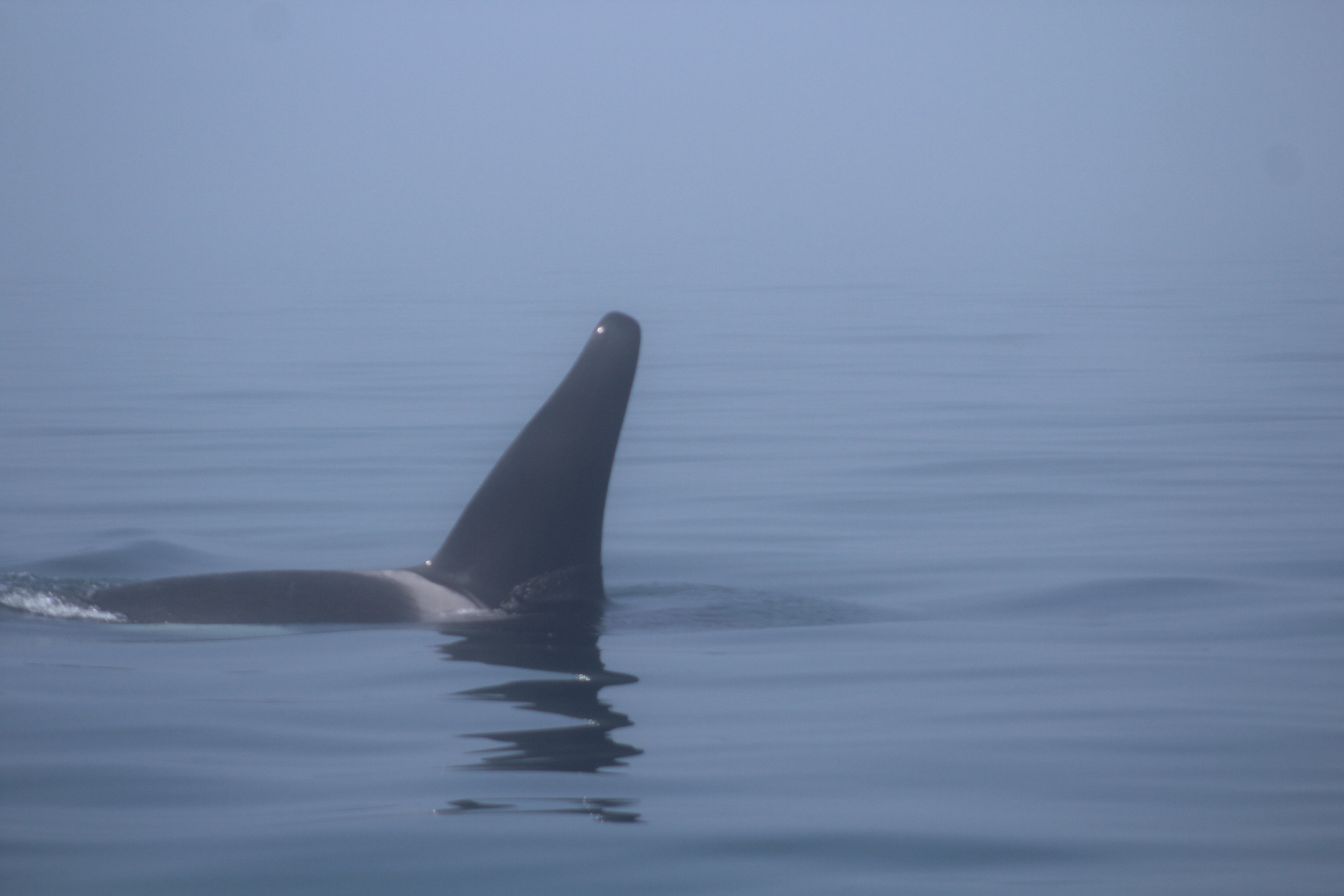 Orca male 2.JPG