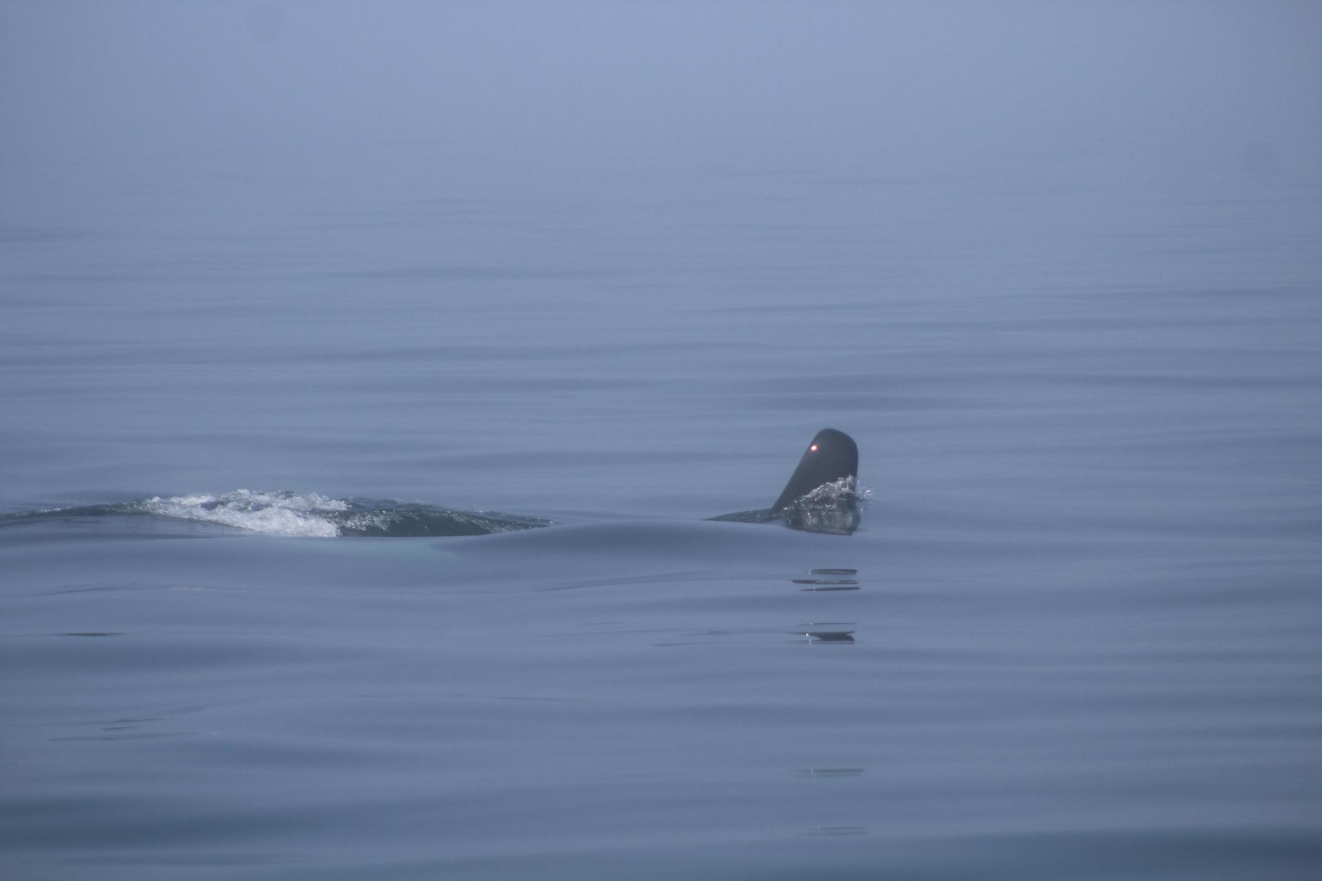 Orca male 3.JPG