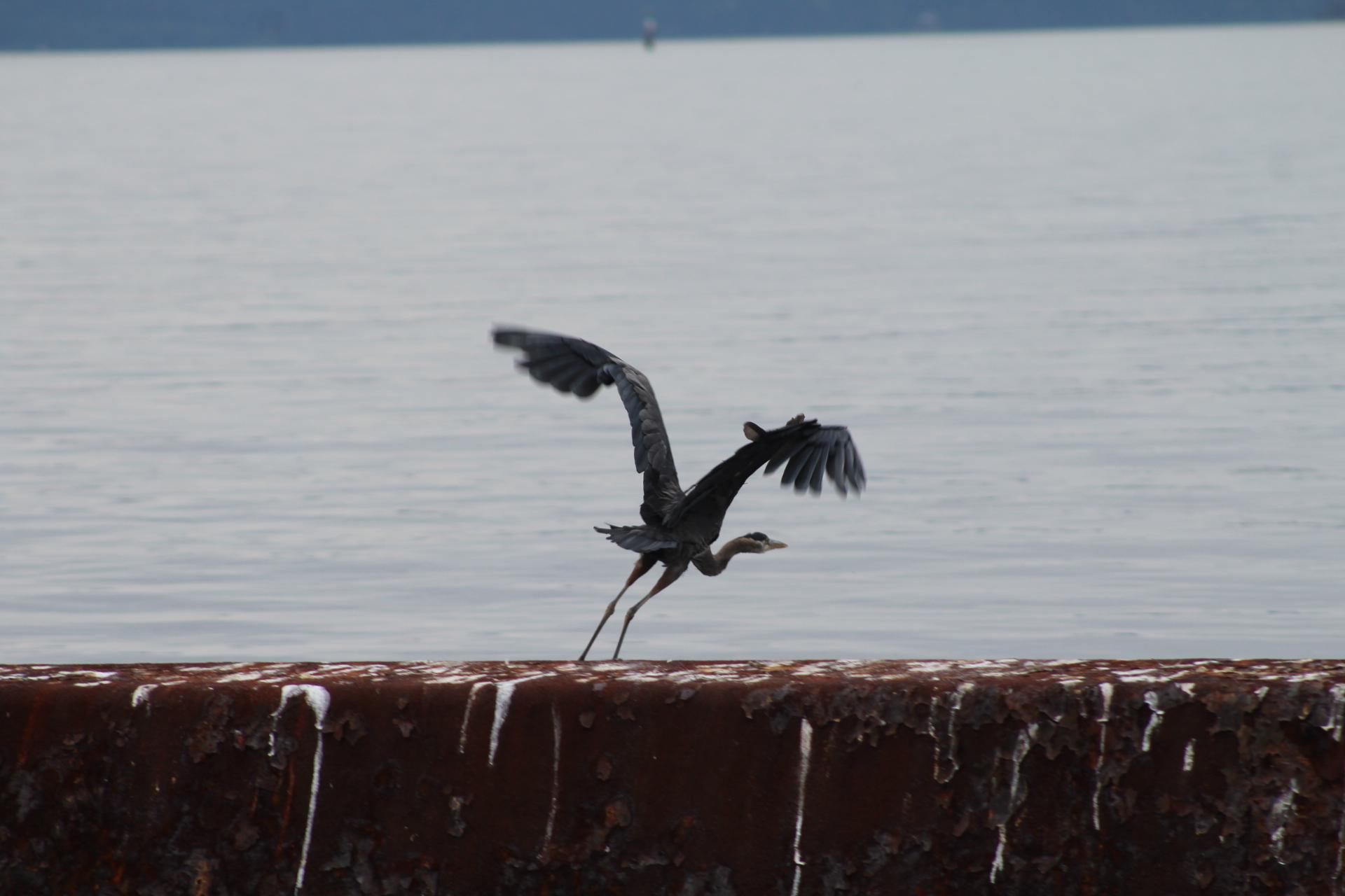 Grey Blue Heron.JPG