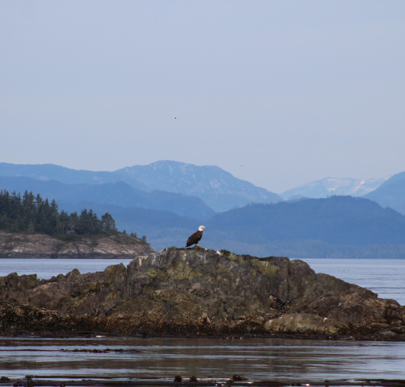 eagle again.JPG
