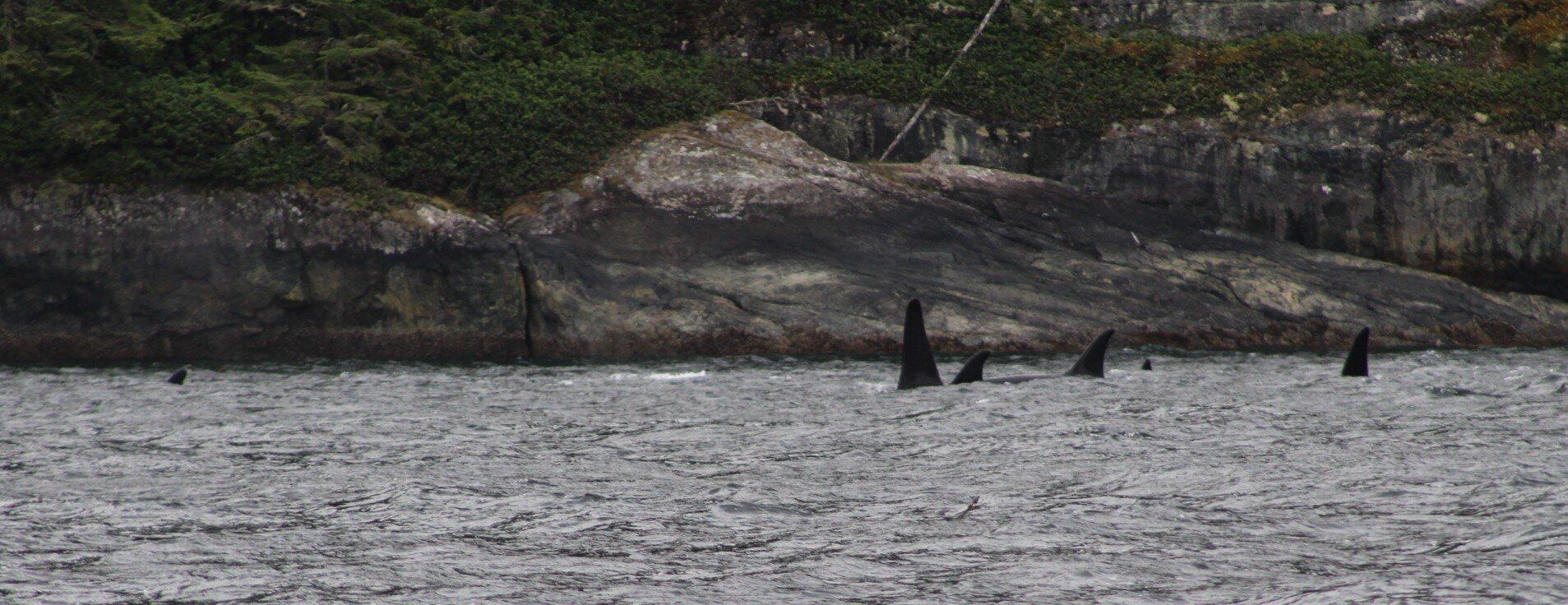 orca family.JPG
