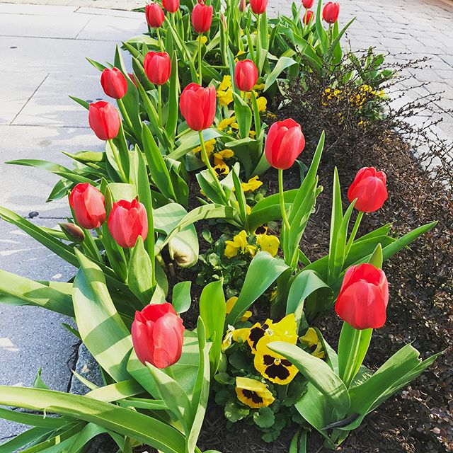 There is no place like #DC in Spring! A few floral photos taken during my walk to find a coffee shop. . . #seenindc #spring #florals #groundbreaking #plantlife #DClife #capital #capitol #acreativedc #nbc4 #washingtondc #springfever #actorlife #djlife #entrepreneur #10000steps #bioart #nature #flowers