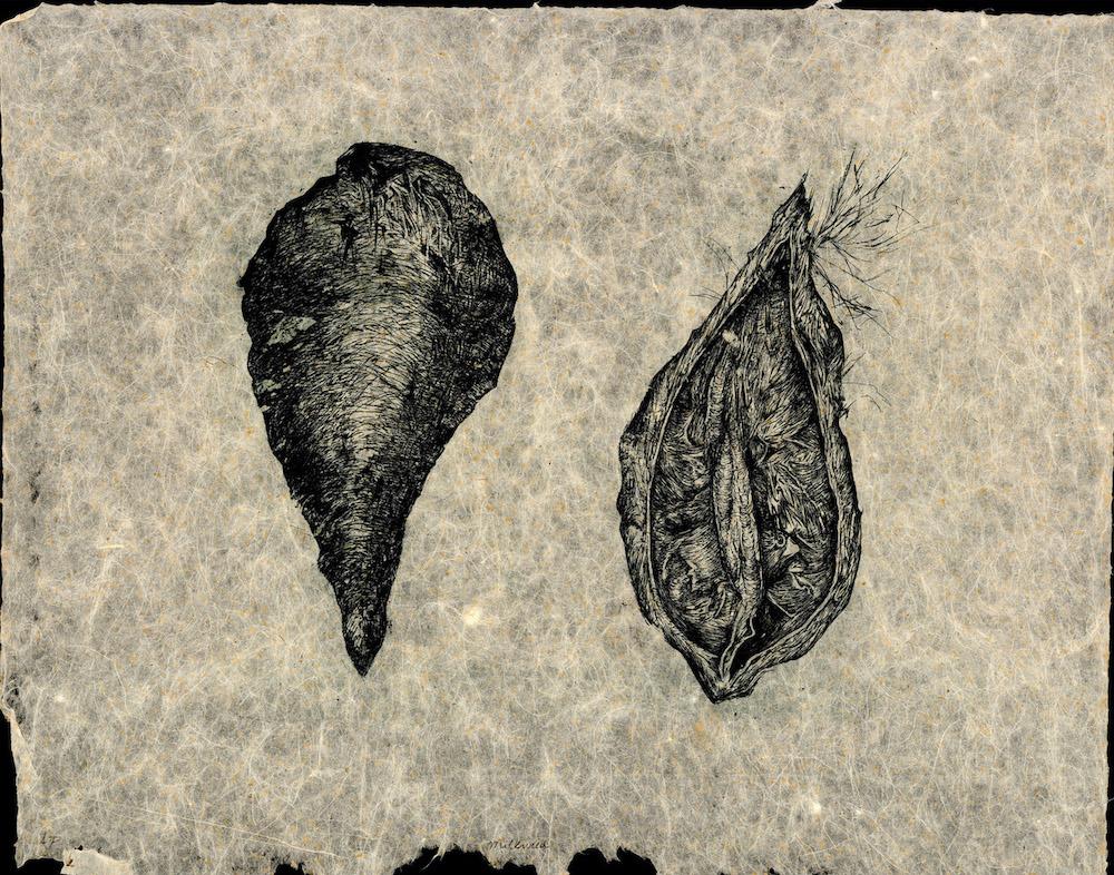 Milkweed Pods , Rachel Singel