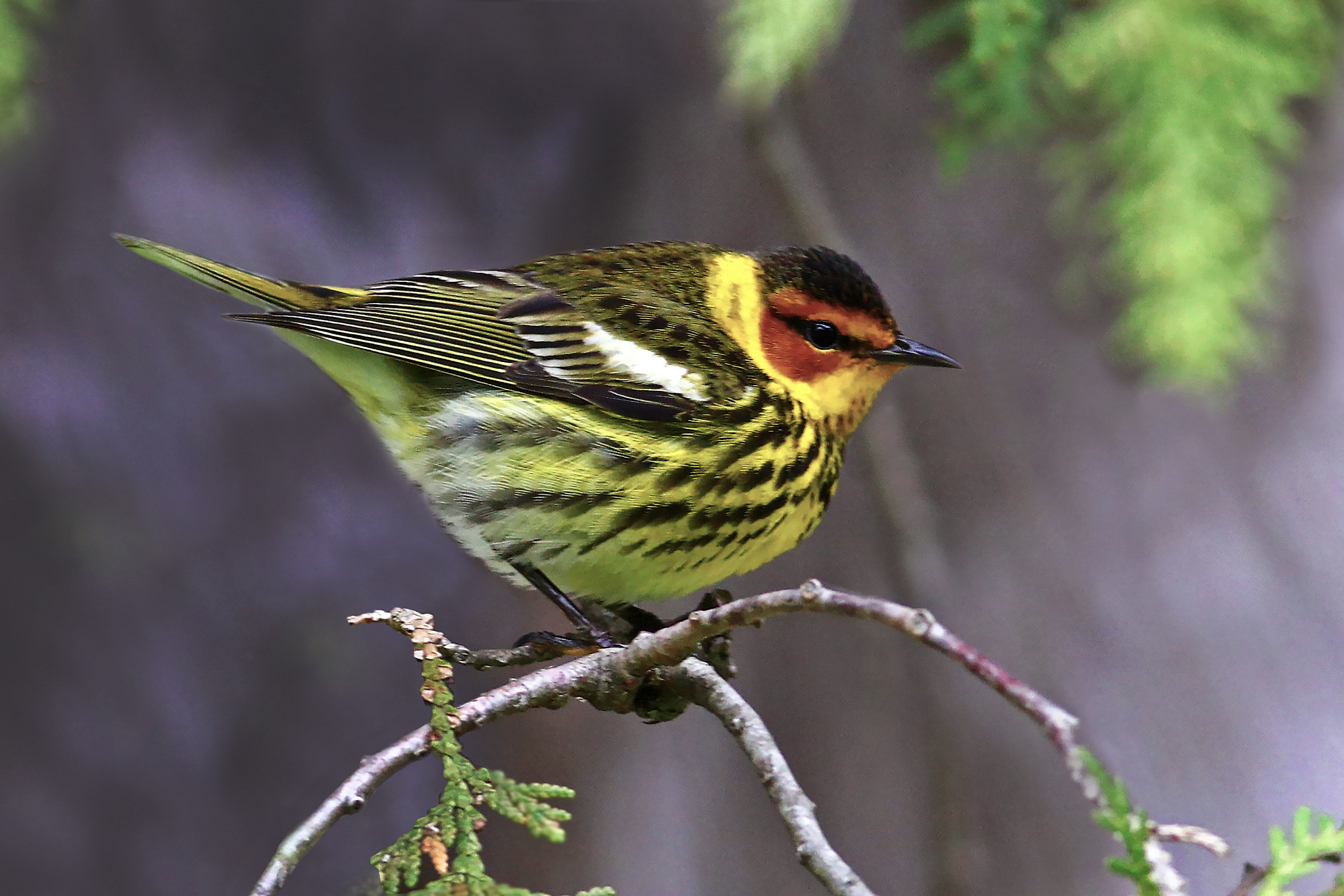 Cape May Warbler -  Tyler Pockette