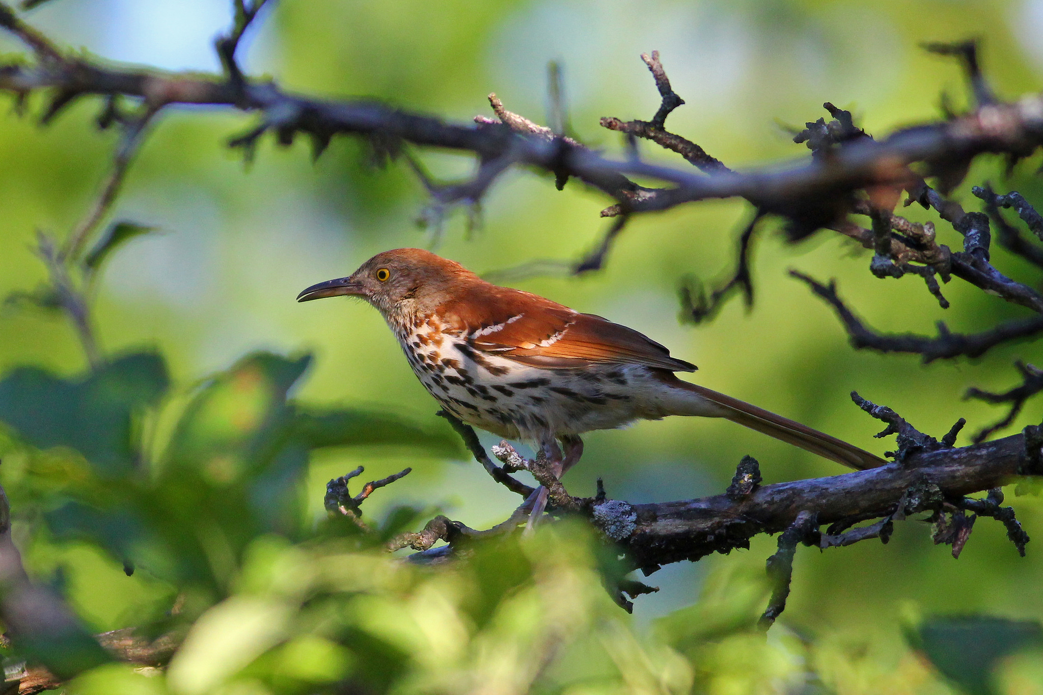 Brown Thrasher -  Tyler Pockette