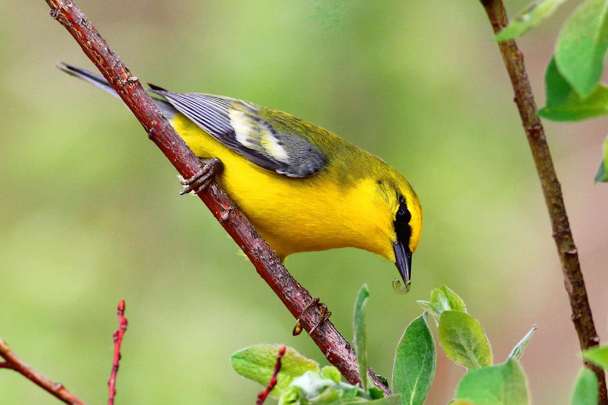 Blue-winged Warbler -  Tyler Pockette