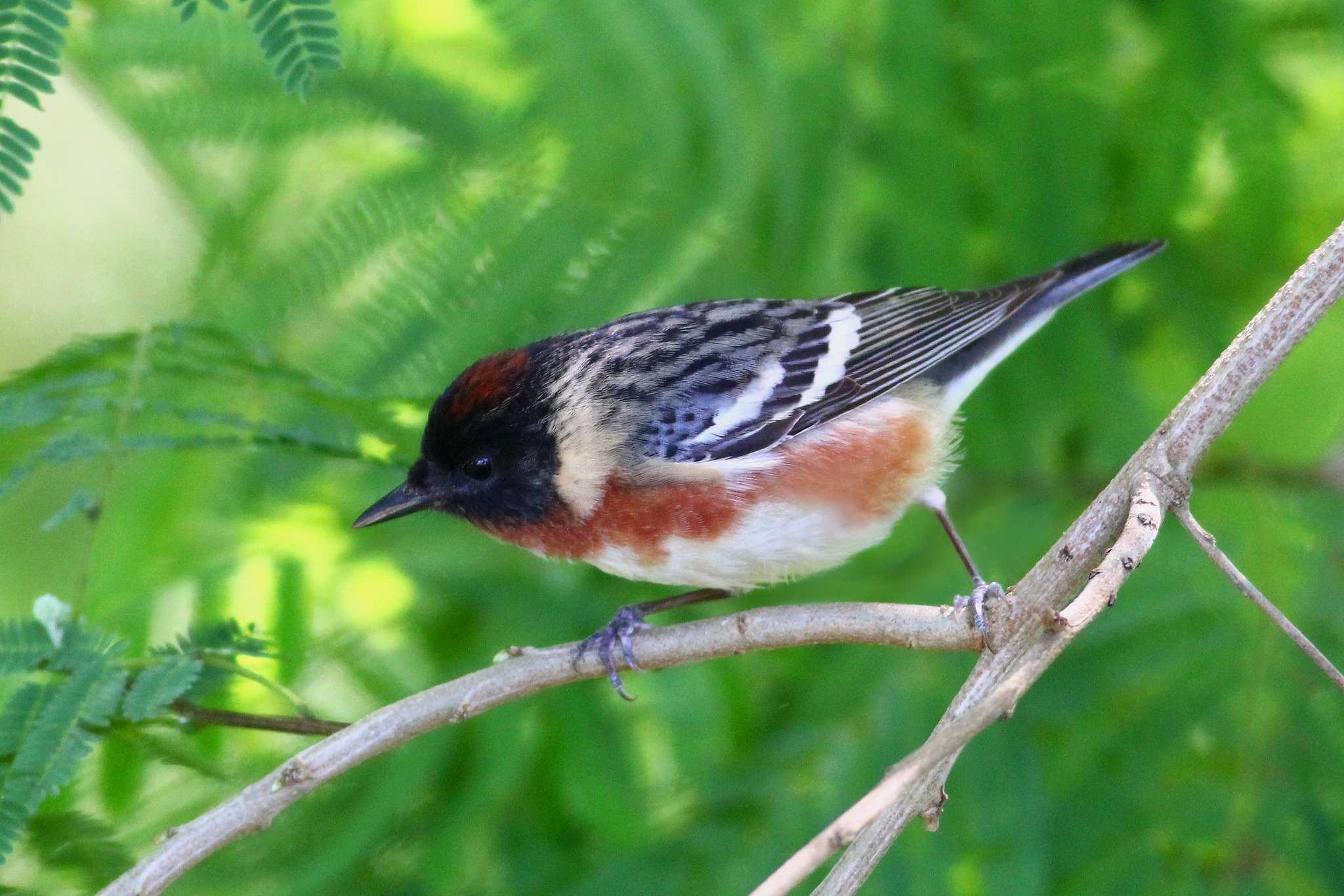 Bay-breasted Warbler -  Tyler Pockette
