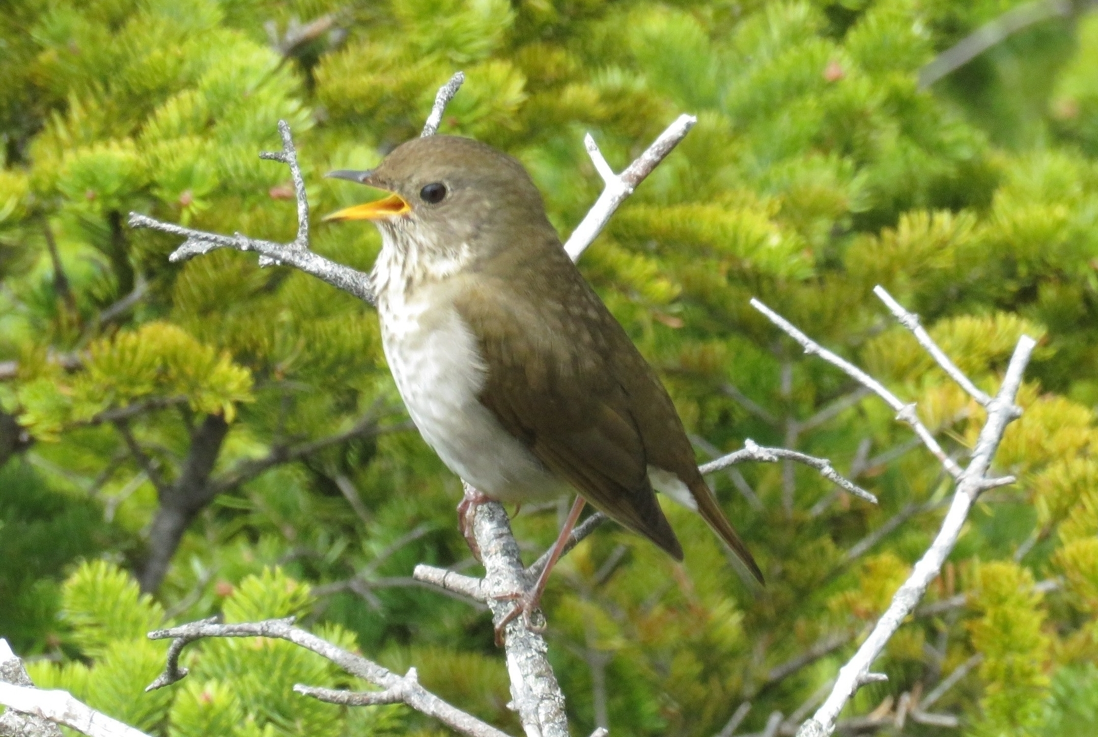 Bicknell's Thrush -  Jim Mead