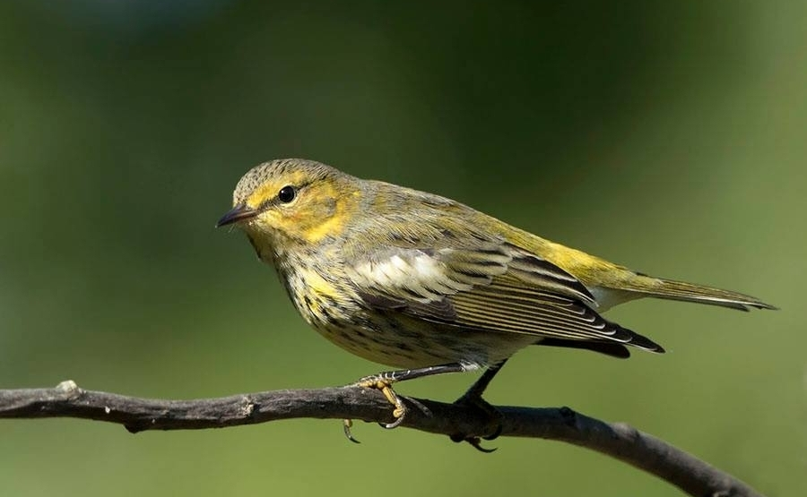 Fall Cape May Warbler -  Jane Ogilvie