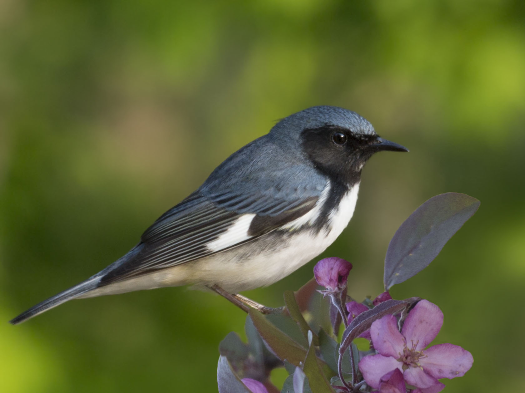 Black-throated Blue Warbler -  Jane Ogilvie