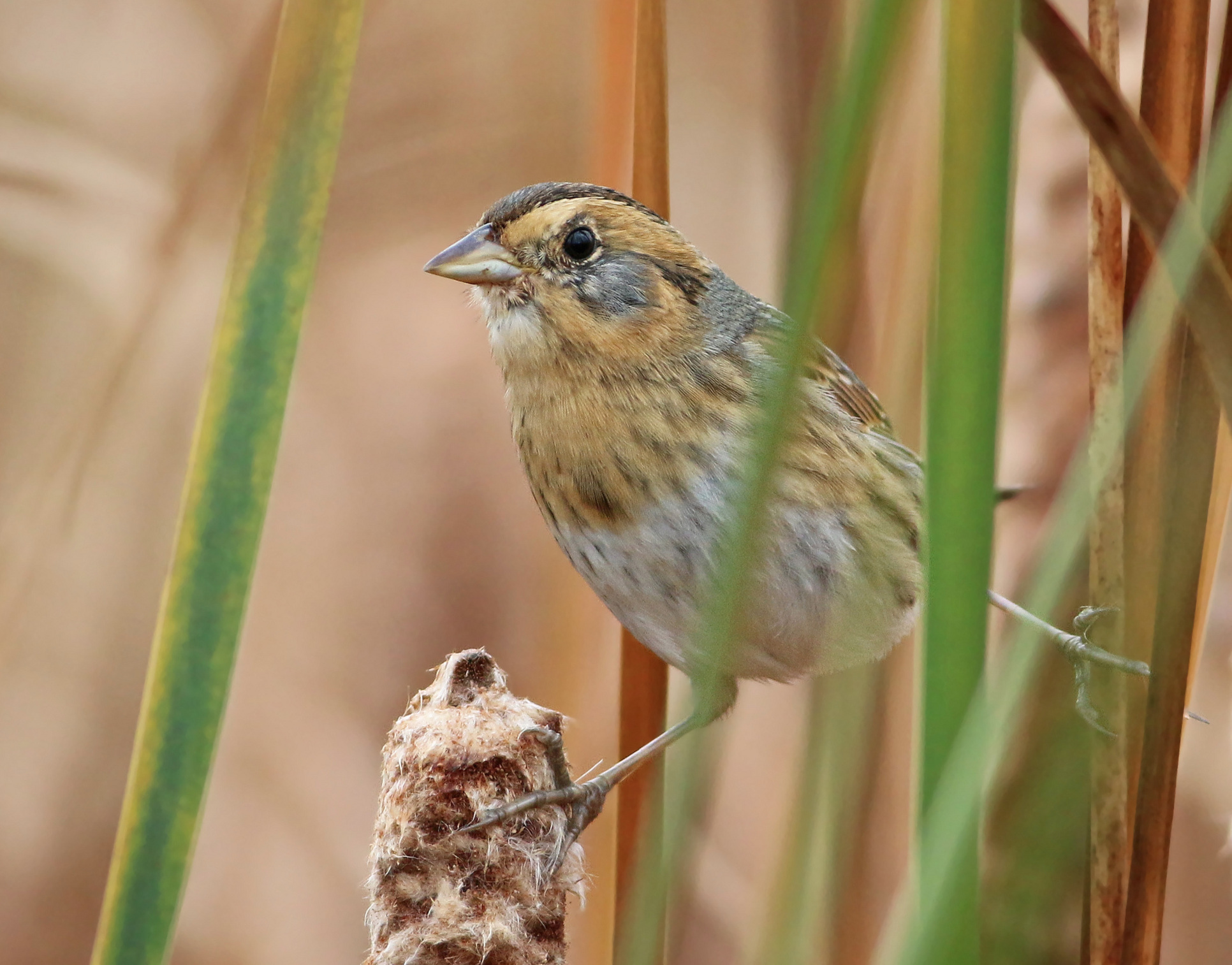 Nelson's Sparrow -  Keenan Yakola
