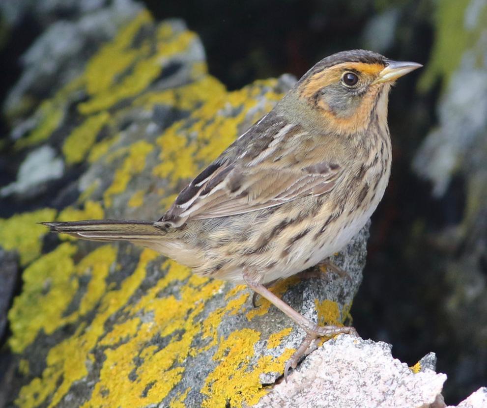 Saltmarsh Sparrow -  Keenan Yakola