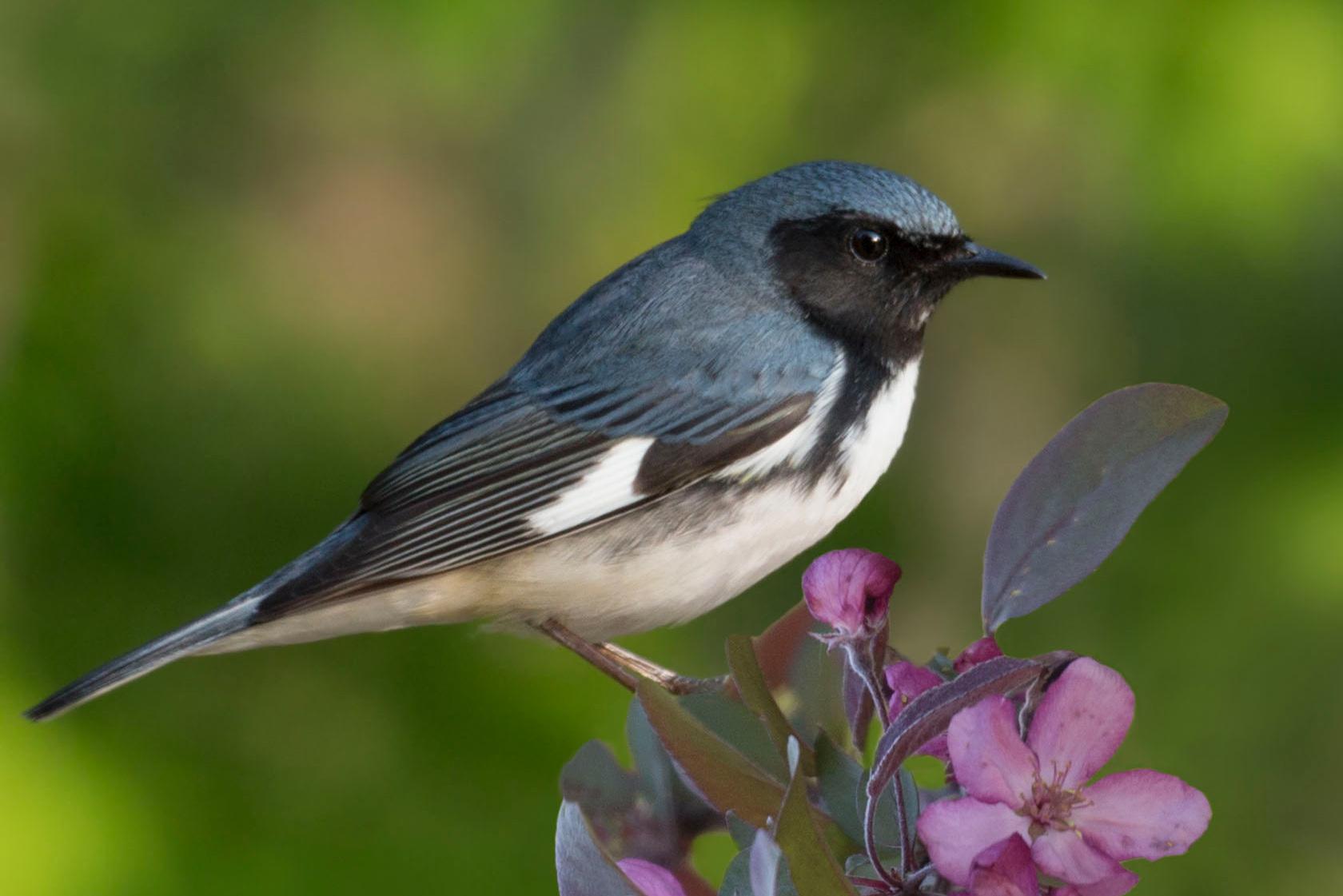 Black-throated Blue Warbler -  Jane Ogilvie