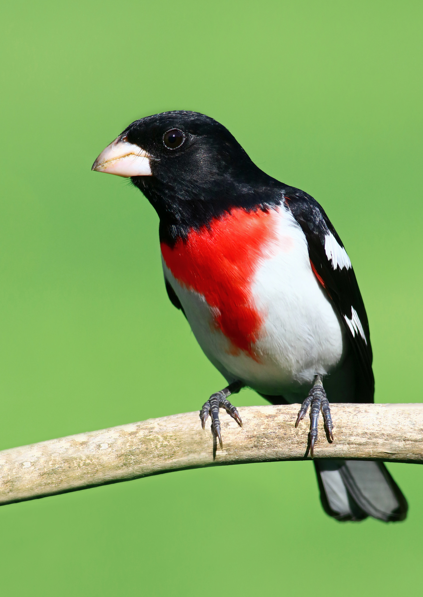 Rose-breasted Grosbeak -  Tyler Pockette