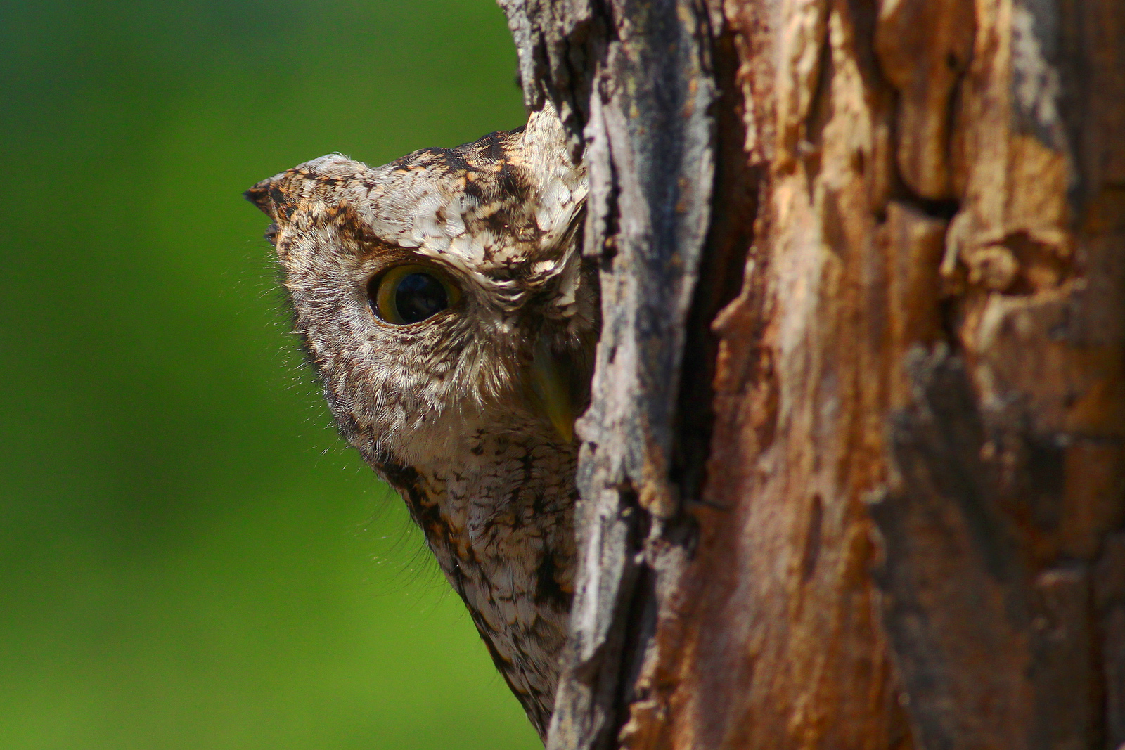 Eastern Screech-Owl -  Tyler Pockette
