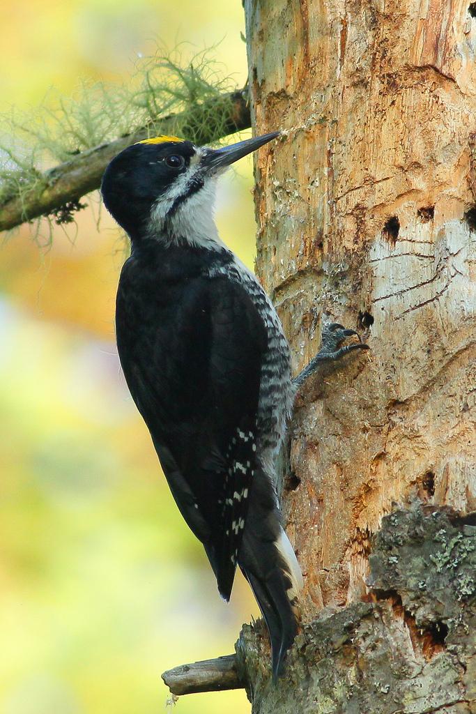 Black-backed Woodpecker -  Tyler Pockette