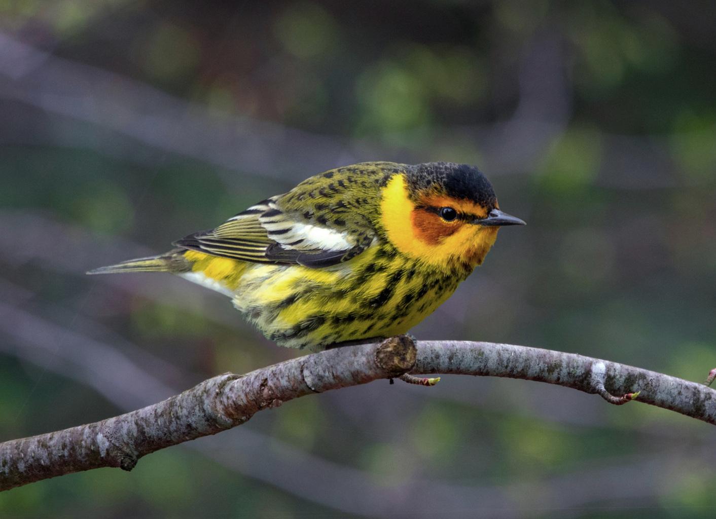 Cape May Warbler -  Tyler Pockette